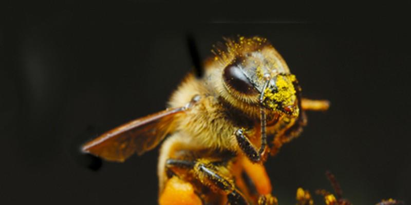ambrosia bienenfuttersirup